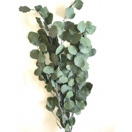 Eucalyptus populus stabilisée