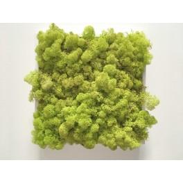 Lichen small