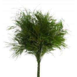 stabilized Tree fern